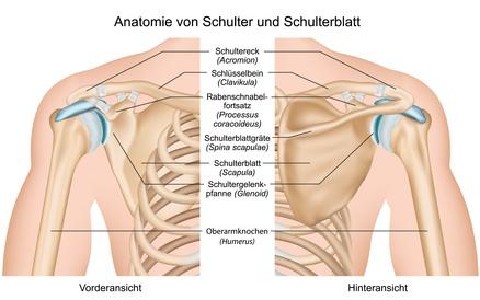 Anatomie von Schulter und Schulterblatt